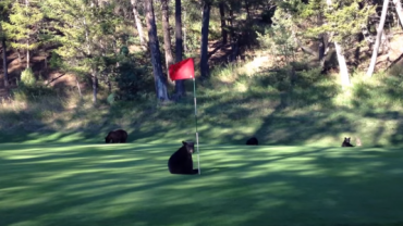 Niedźwiadek przerywa grę w golfa. Moment w 00:50 bawi do łez!