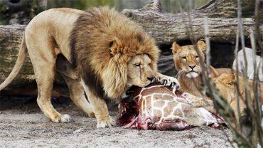 W tym europejskim zoo zamordowano zdrowe zwierzęta! Podobno nie było dla nich miejsca w ogrodzie
