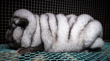 Z tych pięknych zwierząt zrobiono potwory! To przerażające, co człowiek potrafi zrobić dla pieniędzy
