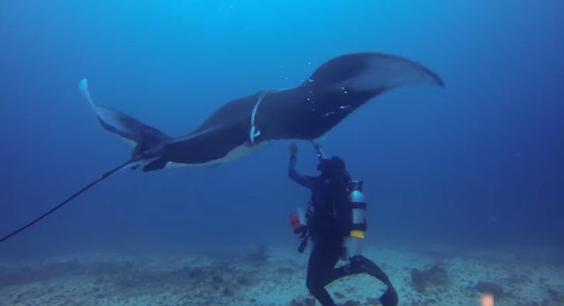 Ogromna Manta Ray zbliżyła się do płetwonurków. To, co zdarzyło się później, jest niesamowite!