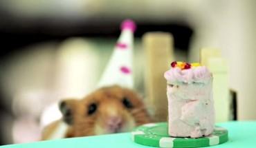 Jeż i dwa chomiki świętują urodziny