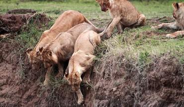 Niesamowita akcja ratunkowa! Lwica ratuje lwiątko uwięzione na klifie