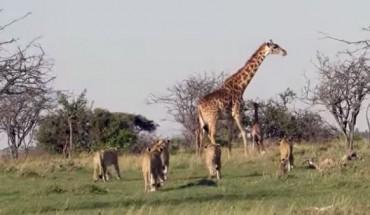 Żyrafa i jej dziecko w otoczeniu głodnych lwów. Efekt tej konfrontacji Cię zaskoczy!