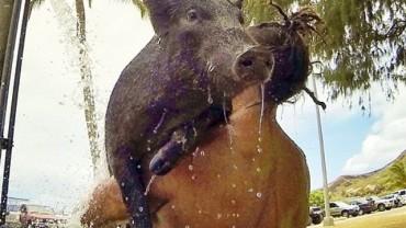 Kiedy znalazł Świnkę, postanowił nauczyć ją czegoś wyjątkowego. Efekty – niesamowite!