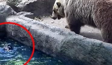 Niedźwiedzica zobaczyła tonącego w wodzie kruka… Zobacz, co z tego wynikło