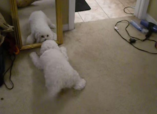 Pies szaleje przed lustrem. Uśmiech gwarantowany! :)