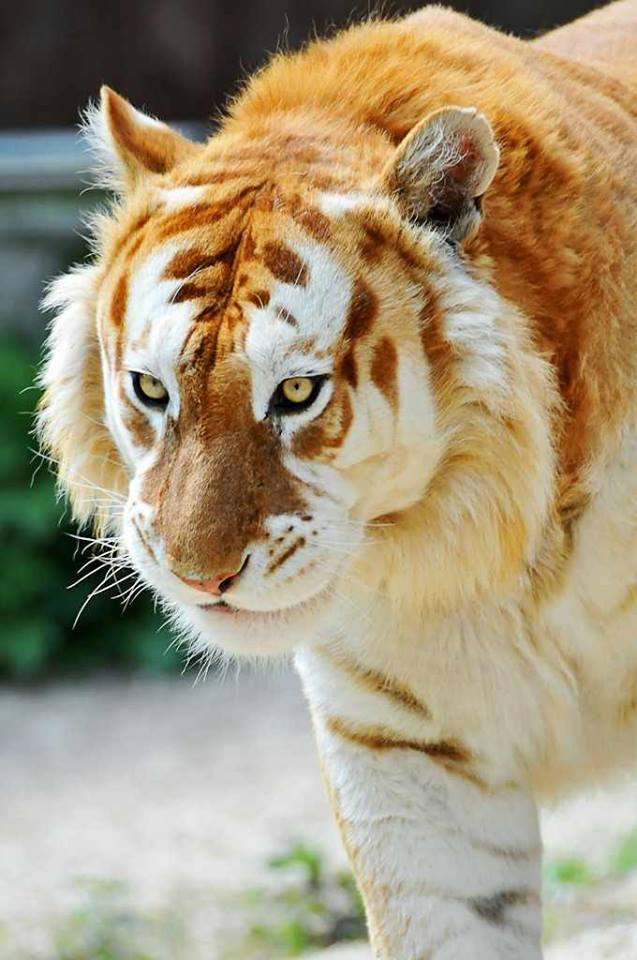 zlote-tygrysy3