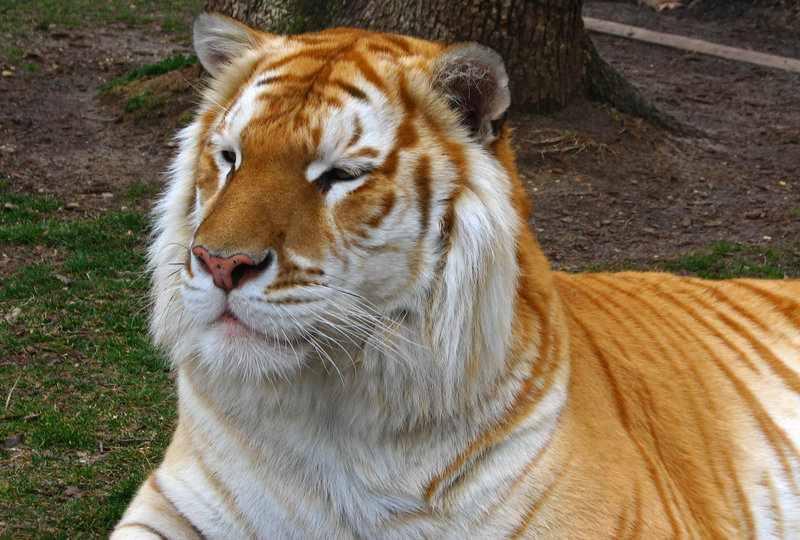 zlote-tygrysy4