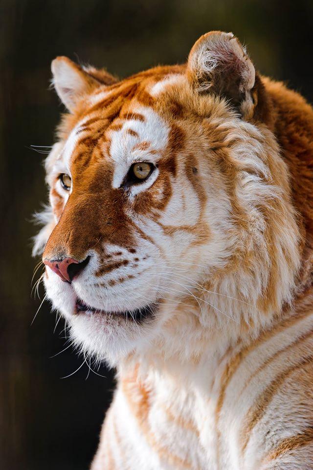 zlote-tygrysy6