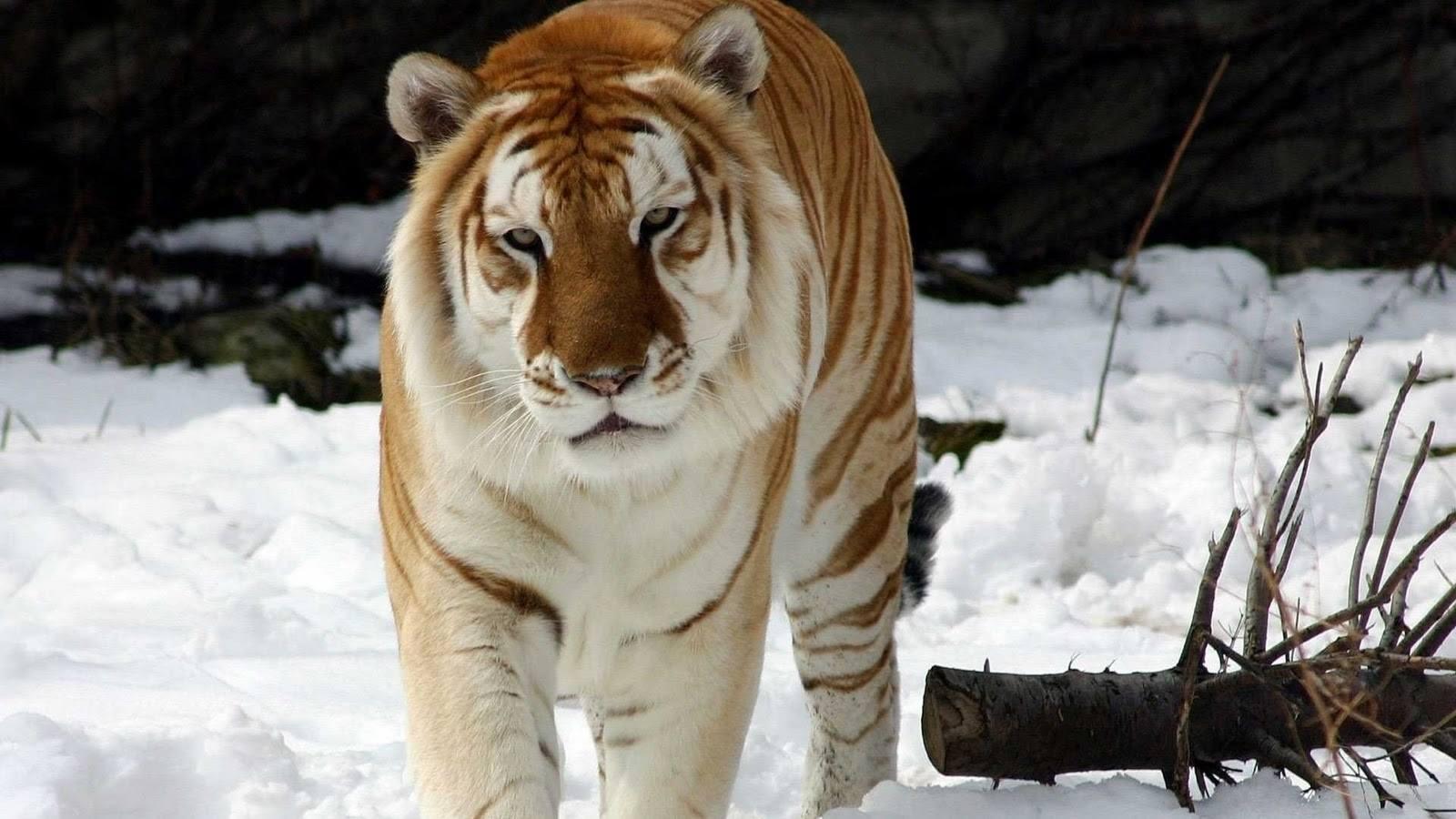 zlote-tygrysy7