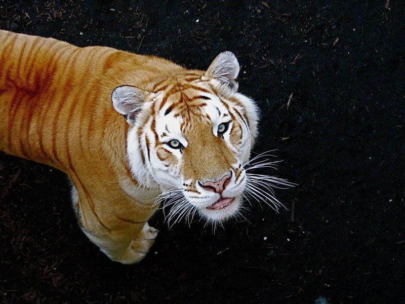 """Niby zwykły tygrys... ale coś jest nie tak. Poznajcie tygrysy """"Golden Tabby""""!"""