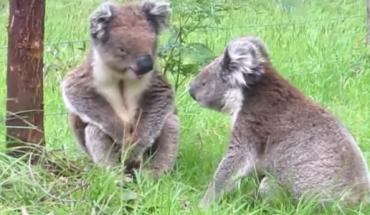 Te dwa słodkie misie Koala mają małą sprzeczkę. To najsłodsza rzecz, jaką kiedykolwiek widziałem!