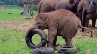 Ten mały słonik dostał opony do zabawy. To, co stało się potem, bawi do łez!