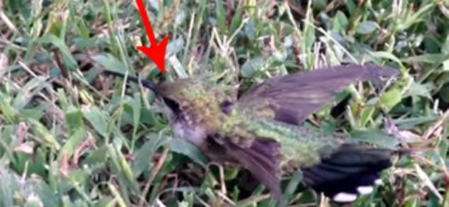 Koliber w pułapce z... gumy do żucia. Zanim następnym razem wyrzucisz gumę bez zastanowienia, pomyśl!