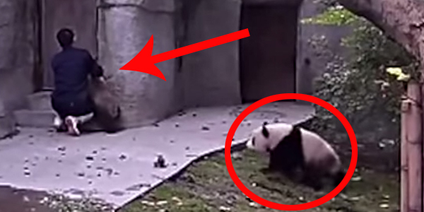 Mężczyzna próbuje podać leki pandzie, jednak z takim obrońcą nie jest to wcale łatwe!