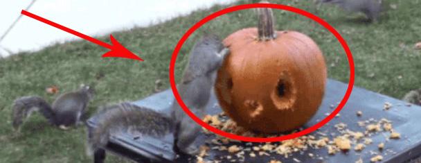 Jak rzeźbić w dyni, kiedy jest się wiewiórką? Podążaj za tymi 6 krokami, a osiągniesz rewelacyjne rezultaty!