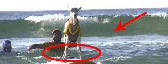 Boisz się surfowania? Bierz przykład z tych zwierzaków.