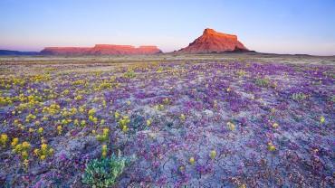 Morze kwiatów na pustyni. Nigdy wcześniej nawet nie słyszałem o czymś takim. WOW!