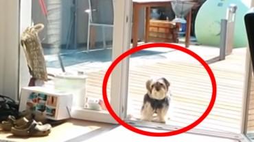 Pies myśli, że drzwi na taras są… zamknięte! Pękniesz ze śmiechu, kiedy to zobaczysz!