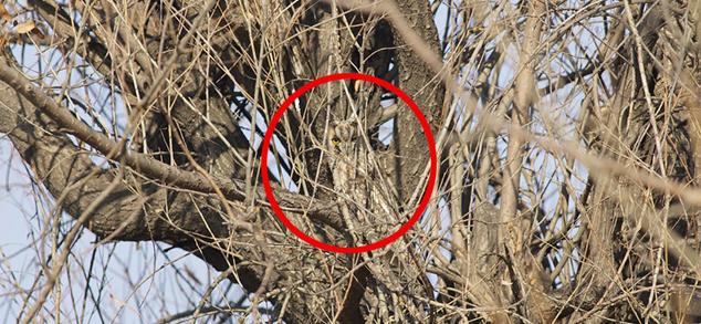 Sowy - prawdziwe mistrzynie kamuflażu. Zobacz 15 niezwykłych fotografii i spróbuj znaleźć na nich sowę!