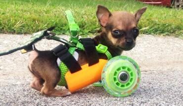 Dzielny, mały chihuahua! Jego los poruszył wielu! Zobacz, co zrobili, aby mu pomóc!