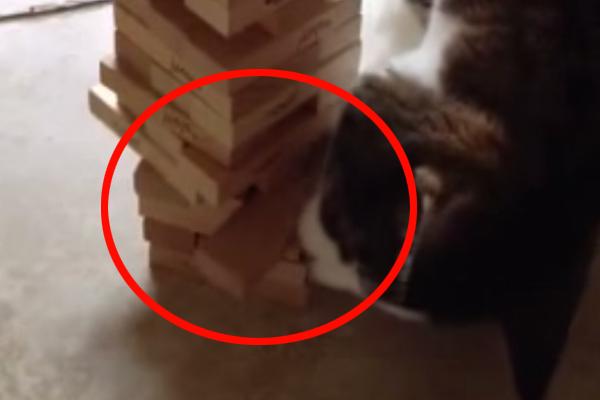 Ten kot gra w jengę lepiej niż niejeden człowiek. Jestem pod mega wrażeniem!
