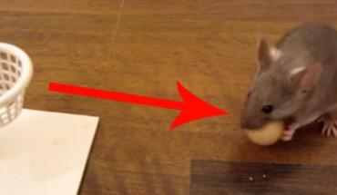 Te myszy zachowują się tak niesamowicie, że przecierałem oczy ze zdumienia!