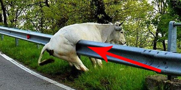 Te krowy nie wiedzą, kim są! Chyba za bardzo poniosła je wyobraźnia!