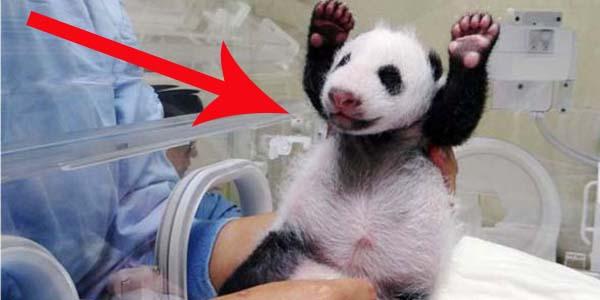 Nowa gwiazda Internetu! Zobacz małą pandę urodzoną na Tajwanie!