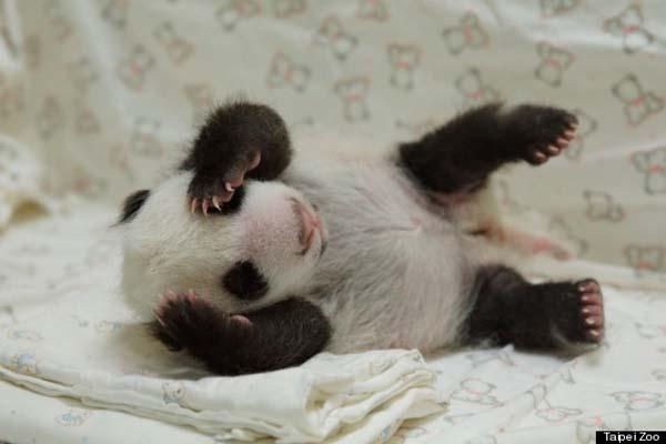 baby-panda3