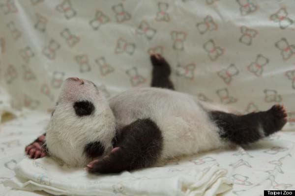 baby-panda4