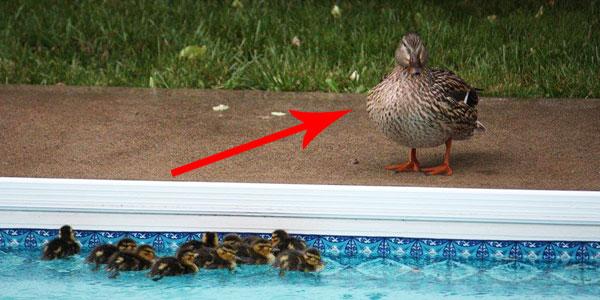 Ta kaczka nie była w stanie uratować swoich dzieci! Na szczęście znalazł się ktoś, kto jej w tym pomógł!