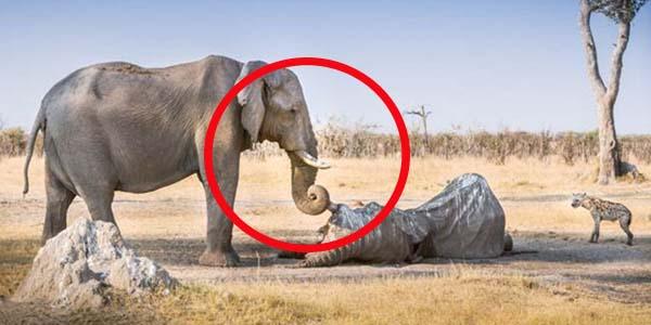 Zobacz wzruszające zdjęcie słonicy. Łza się w oku kręci!
