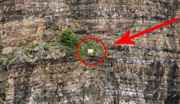 To, co wyprawiają te kozice, przyprawia o zawrót głowy! Jakim cudem utrzymują się na takiej wysokości?
