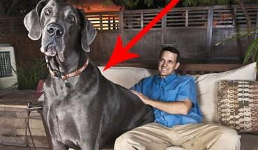 Tak wyglądał największy pies na świecie! Powiedzieć, że był ogromny, to za mało!