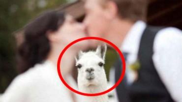 Te zwierzęta kochają być w centrum uwagi! Zobacz, jak zaprezentowały się na ślubnych fotografiach!
