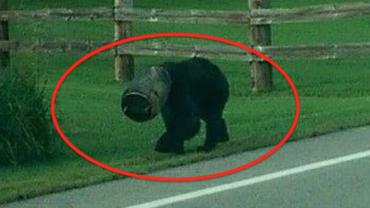 Epicki ratunek niedźwiedzia! Jestem ciekawy, czy ty też byś tak postąpił…