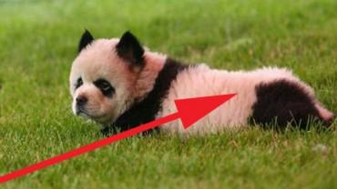 Nie do uwierzenia! Włoski cyrk trzymał szczeniaczki Chow Chow jako… pandy!