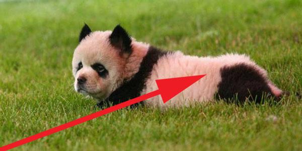 Nie do uwierzenia! Włoski cyrk trzymał szczeniaczki Chow Chow jako... pandy!