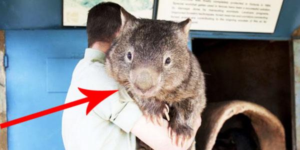 Poznajcie Patricka - najstarszego, a zarazem najsłodszego wombata na świecie!