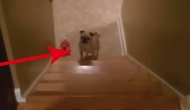 Ten szczeniak niezbyt lubi wchodzić po schodach… Znalazł jednak sposób, jak ułatwić sobie to zadanie!
