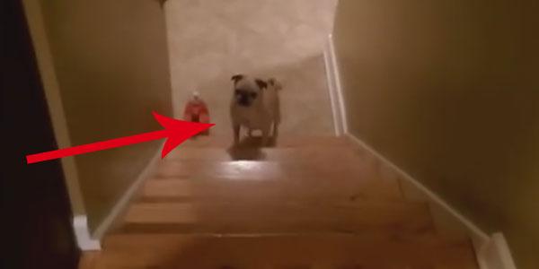 Ten szczeniak niezbyt lubi wchodzić po schodach... Znalazł jednak sposób, jak ułatwić sobie to zadanie!