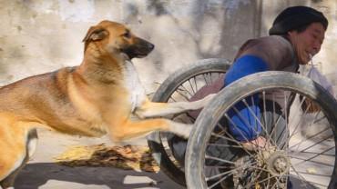 Gdy zobaczysz, w jaki sposób ten pies, pomaga swojemu sparaliżowanego panu, wzruszysz się do łez! Nigdy wcześniej nie widziałam czegoś podobnego!