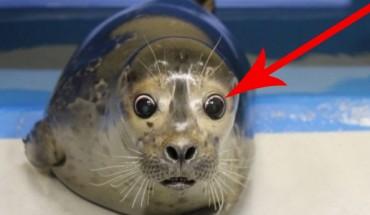 Okazało się, że ta mała foczka ma poważne problemy ze zdrowiem! Zobaczcie, co zrobili dla niej jej wybawcy!