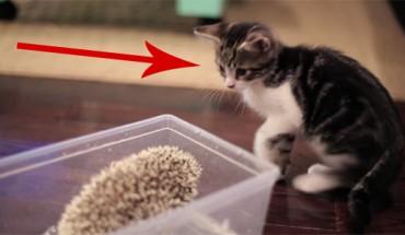 Co się dzieje, kiedy kot spotyka jeża? Zobacz, a nie będziesz mógł przestać oglądać tej sceny! :)