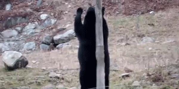 Co robi groźny niedźwiedź, gdy nikt nie patrzy? Spróbujecie zgadnąć?