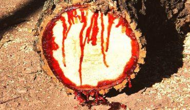 Przecięli to drzewo na pół i dostrzegli, że wypływa z niego krew! Słyszałeś wcześniej o tej roślinie?
