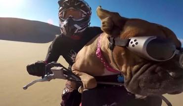 Ta suczka jeździ ze swoim Panem na motorze, zobaczcie koniecznie!