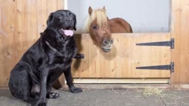 Poznaj historię Acera, jednego z najmniejszych koni na świecie. Uśmiech gwarantowany.