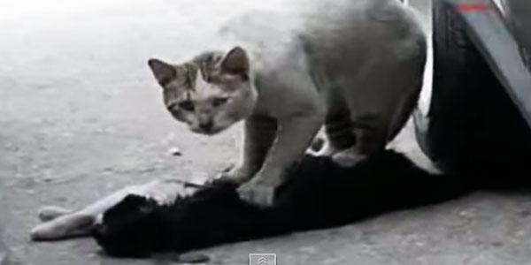 Nie mogę uwierzyć w to, co tam zaszło! Kot próbował reanimować swojego nieprzytomnego przyjaciela!